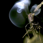 A mosquito being zapped with photonic energy. (Courtesy of Intellectual Venture Management)